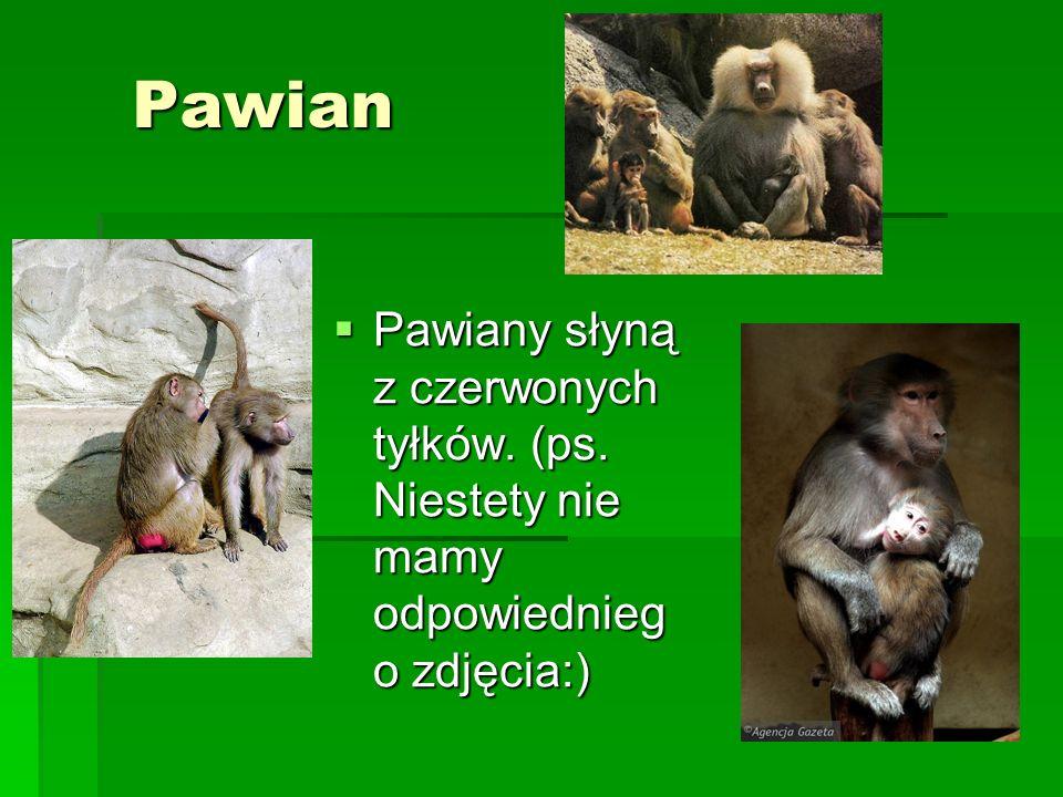 Pawian Pawiany słyną z czerwonych tyłków. (ps. Niestety nie mamy odpowiedniego zdjęcia:)