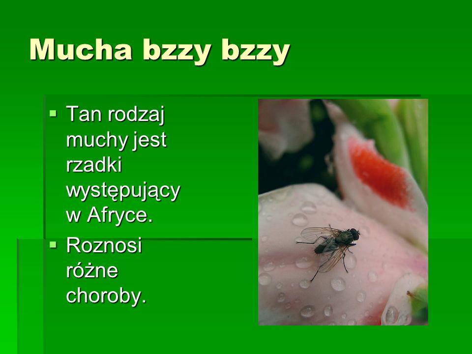 Mucha bzzy bzzy Tan rodzaj muchy jest rzadki występujący w Afryce.