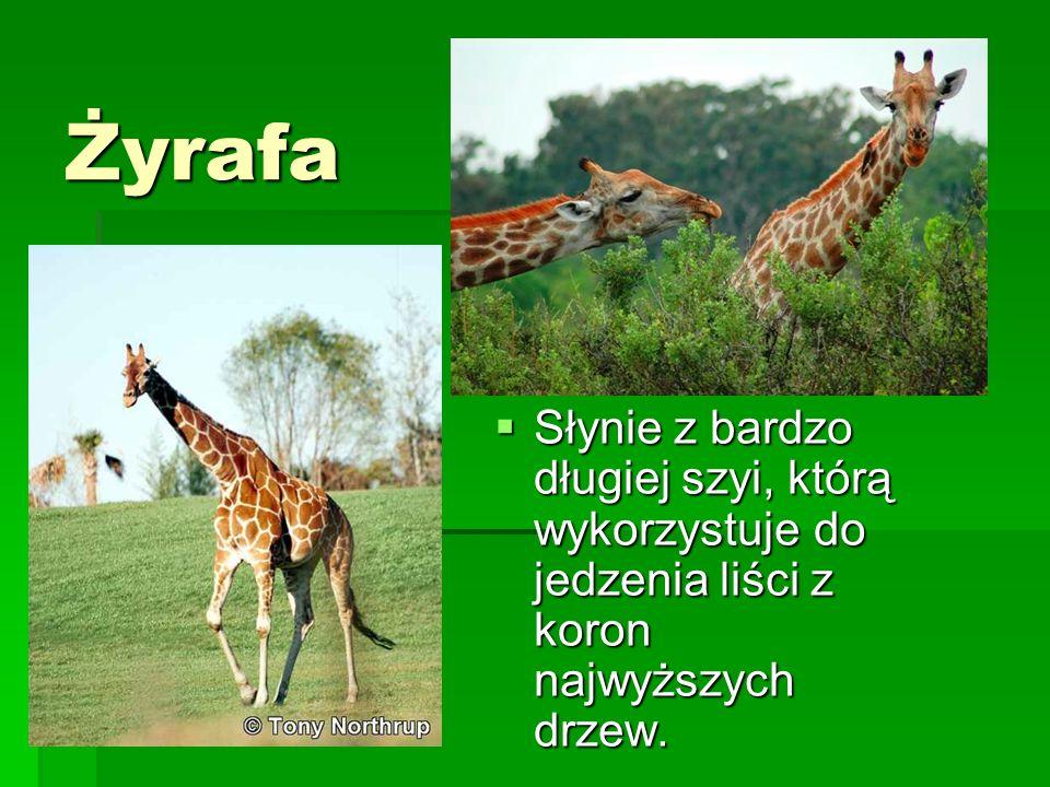 ŻyrafaSłynie z bardzo długiej szyi, którą wykorzystuje do jedzenia liści z koron najwyższych drzew.