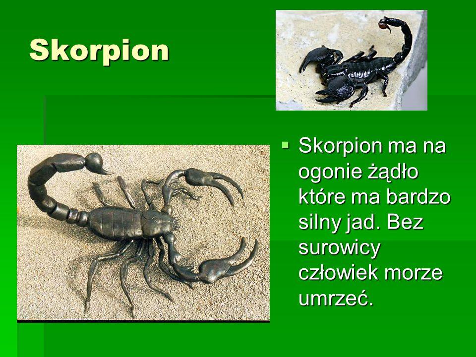Skorpion Skorpion ma na ogonie żądło które ma bardzo silny jad. Bez surowicy człowiek morze umrzeć.