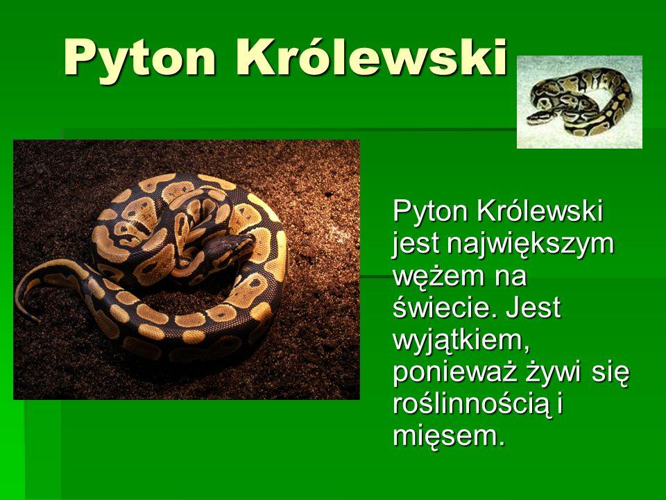 Pyton Królewski Pyton Królewski jest największym wężem na świecie.