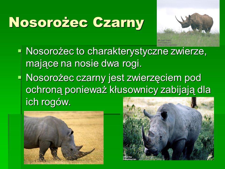 Nosorożec Czarny Nosorożec to charakterystyczne zwierze, mające na nosie dwa rogi.