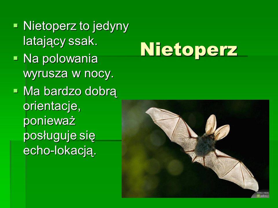 Nietoperz Nietoperz to jedyny latający ssak.