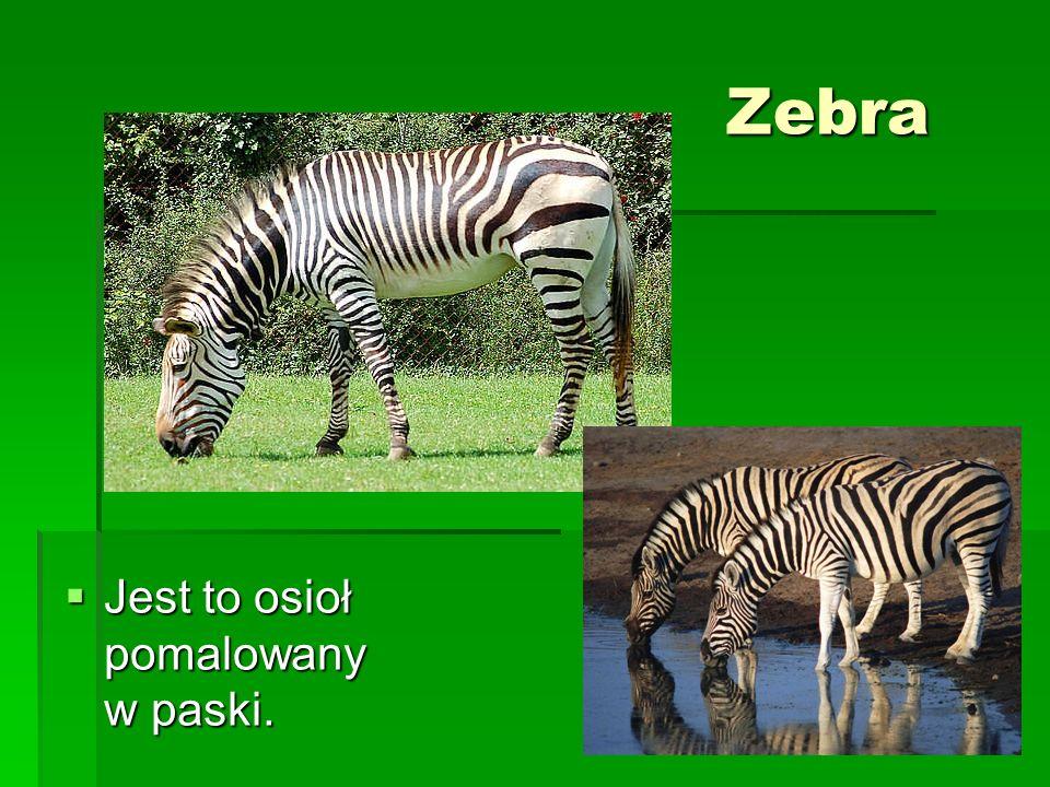 Zebra Jest to osioł pomalowany w paski.
