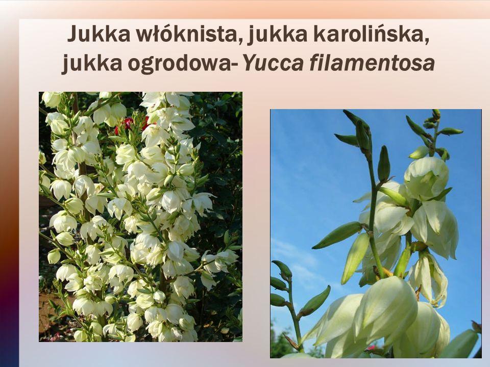 Jukka włóknista, jukka karolińska, jukka ogrodowa- Yucca filamentosa
