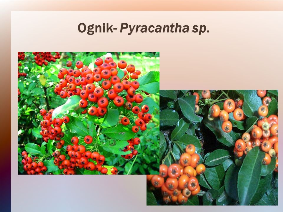 Ognik- Pyracantha sp.
