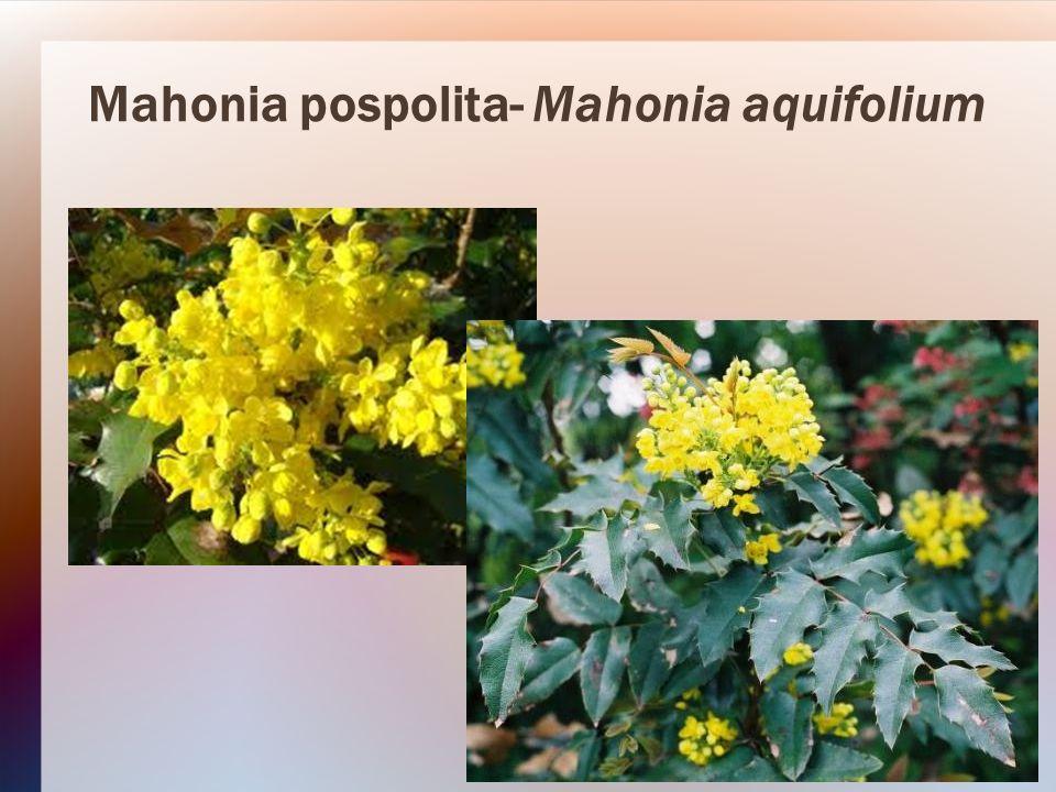 Mahonia pospolita- Mahonia aquifolium