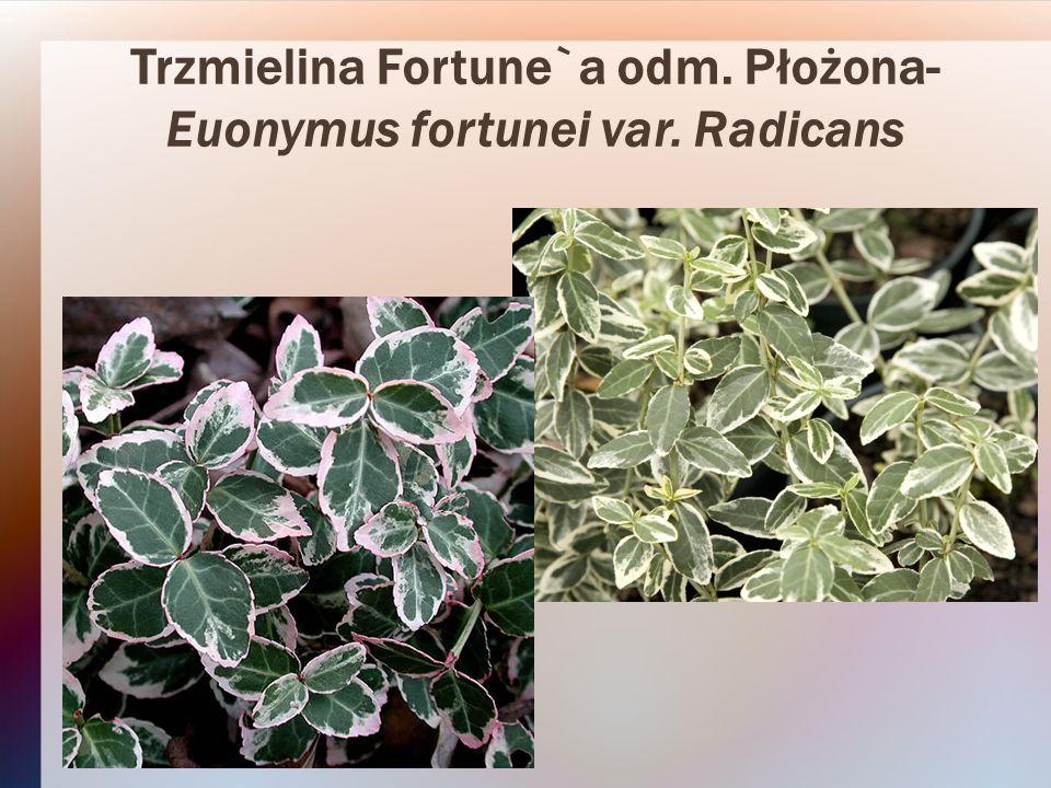 Trzmielina Fortune`a odm. Płożona- Euonymus fortunei var. Radicans