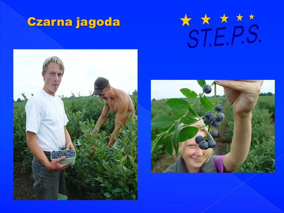 Czarna jagoda ST.E.P.S.
