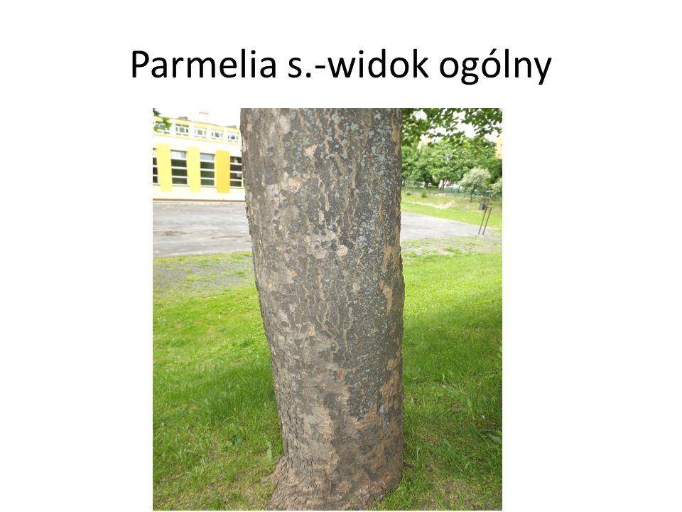 Parmelia s.-widok ogólny
