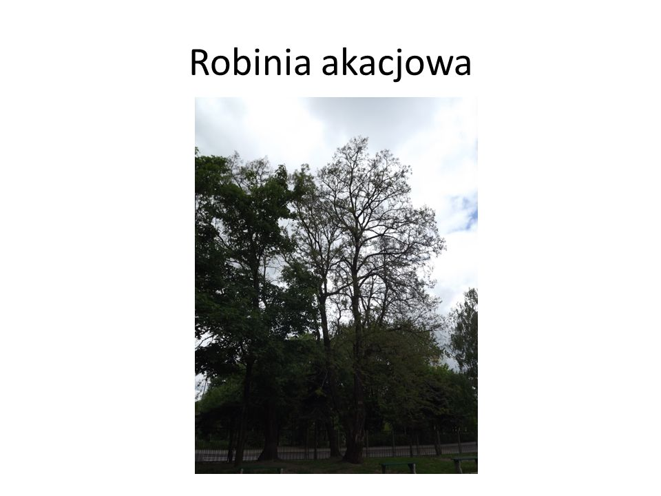 Robinia akacjowa
