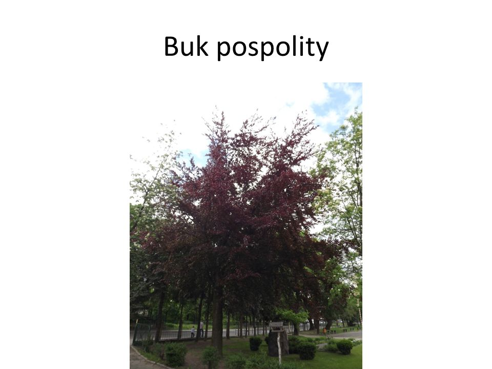 Buk pospolity
