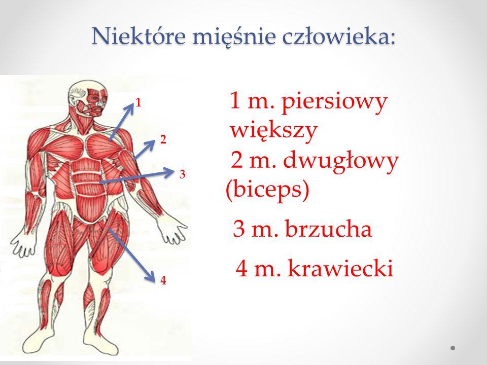 Niektóre mięśnie człowieka: