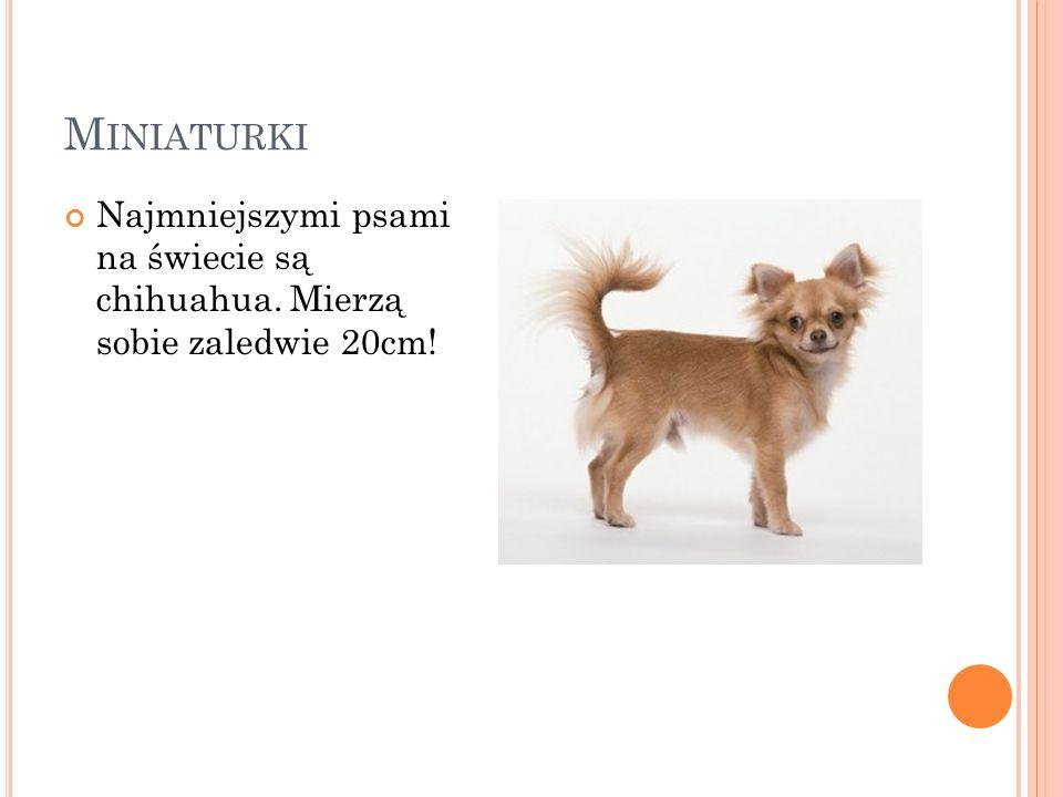 Miniaturki Najmniejszymi psami na świecie są chihuahua. Mierzą sobie zaledwie 20cm!