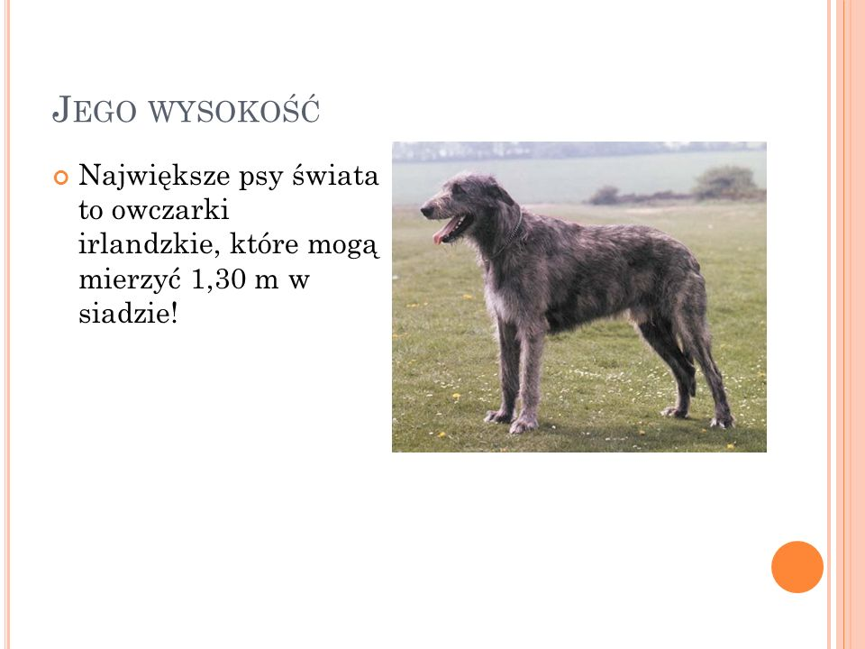 Jego wysokość Największe psy świata to owczarki irlandzkie, które mogą mierzyć 1,30 m w siadzie!