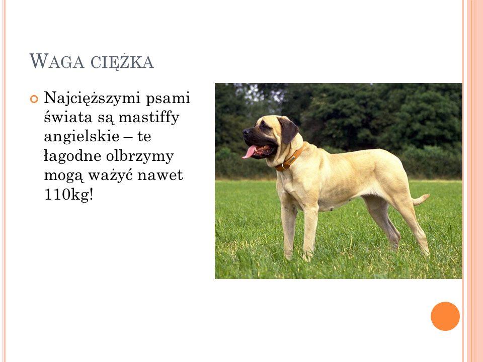 Waga ciężka Najcięższymi psami świata są mastiffy angielskie – te łagodne olbrzymy mogą ważyć nawet 110kg!