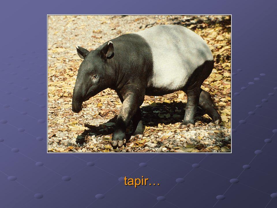 tapir…
