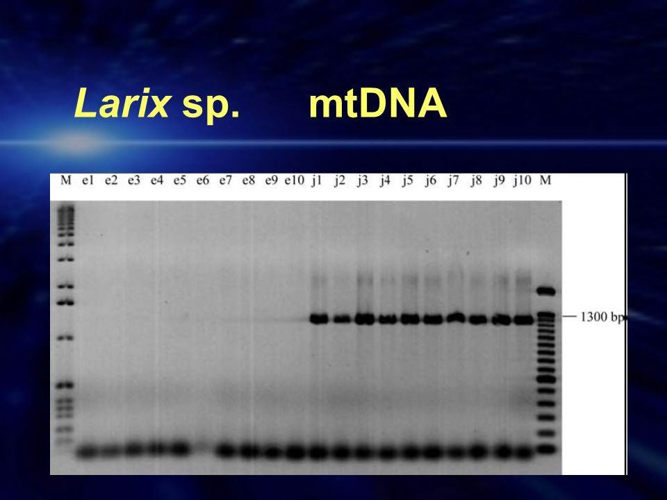 Larix sp. mtDNA