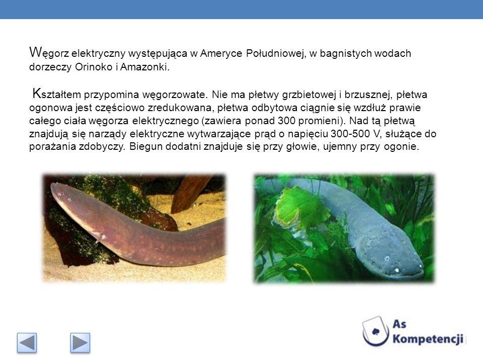 Węgorz elektryczny występująca w Ameryce Południowej, w bagnistych wodach dorzeczy Orinoko i Amazonki.