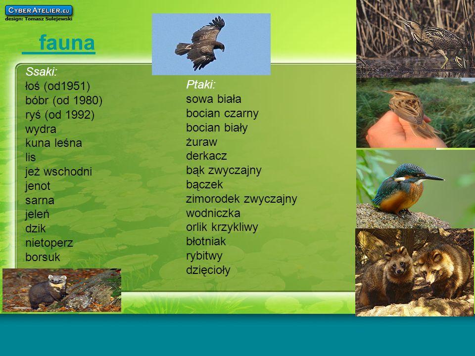 fauna Ssaki: łoś (od1951) bóbr (od 1980) Ptaki: ryś (od 1992)