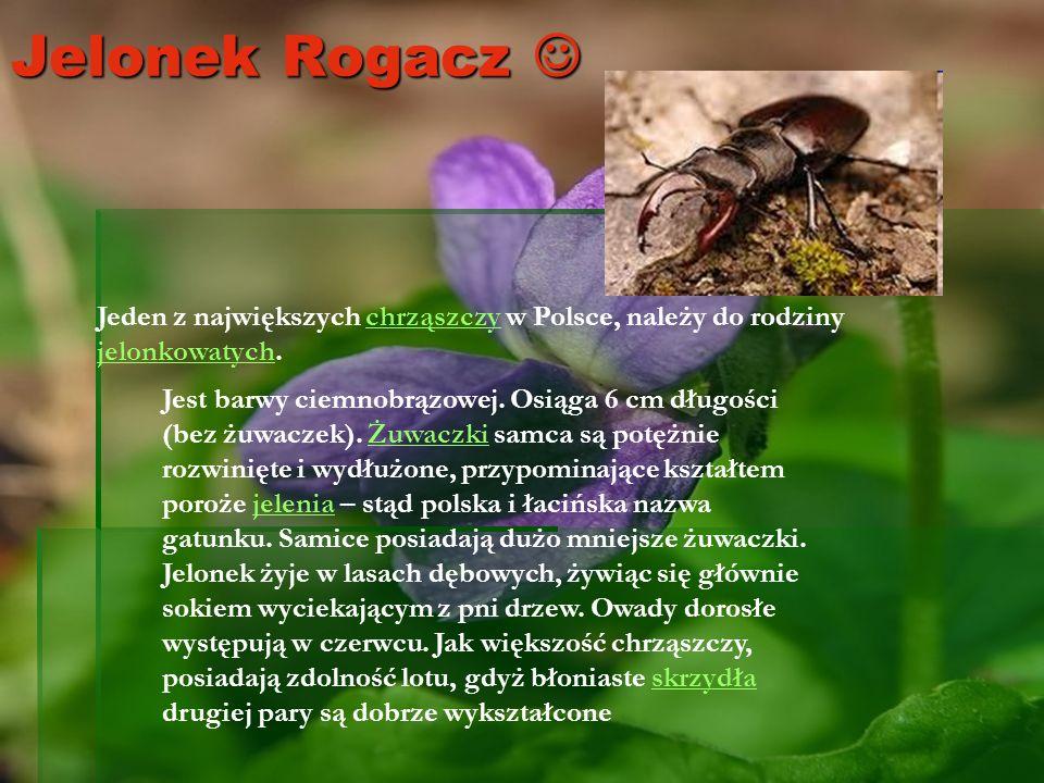 Jelonek Rogacz  Jeden z największych chrząszczy w Polsce, należy do rodziny jelonkowatych.