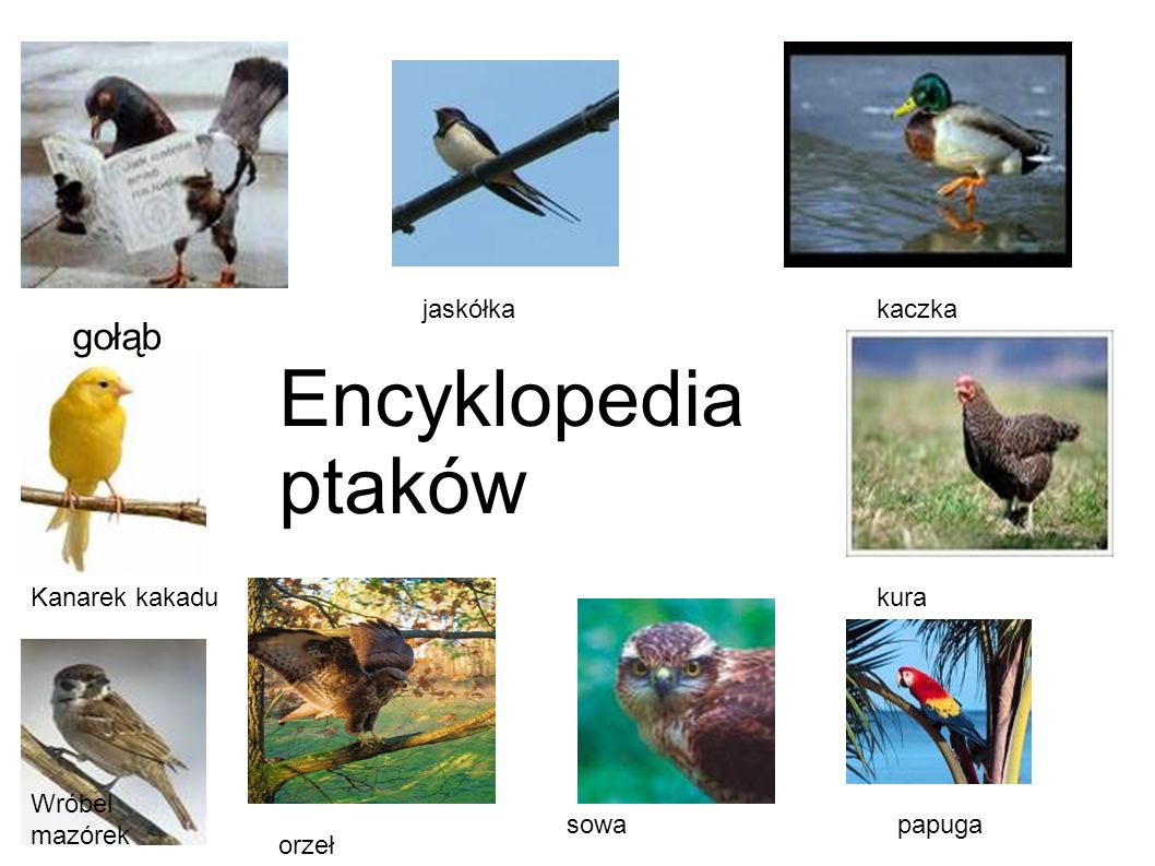 Encyklopedia ptaków gołąb jaskółka kaczka Kanarek kakadu kura