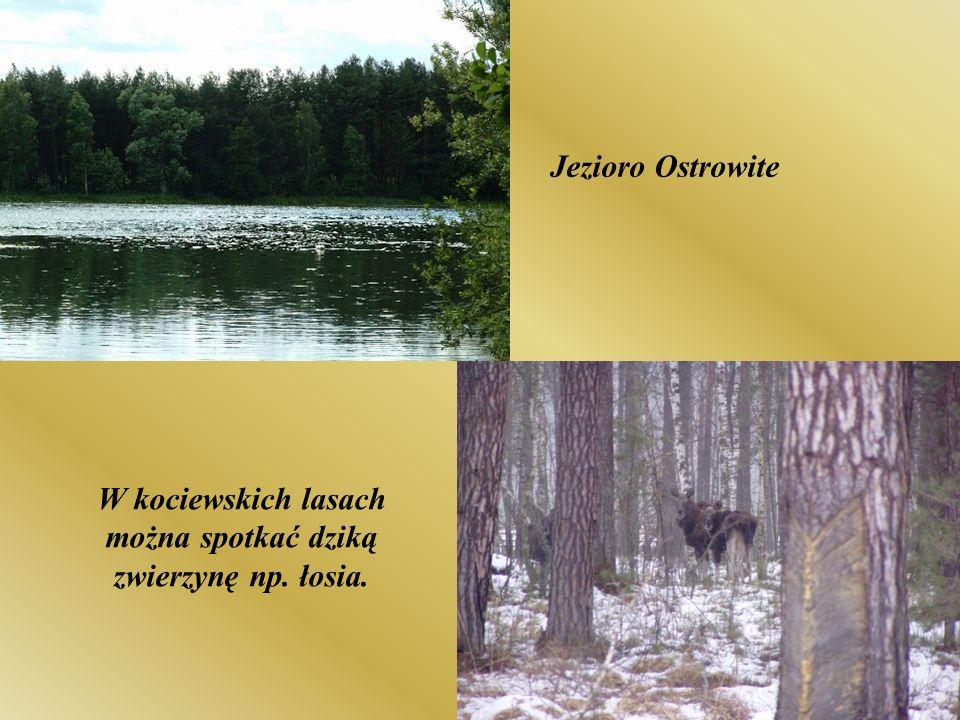 W kociewskich lasach można spotkać dziką zwierzynę np. łosia.