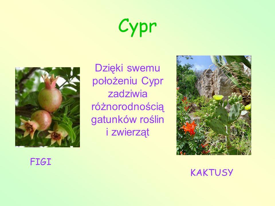 Cypr Dzięki swemu położeniu Cypr zadziwia różnorodnością gatunków roślin i zwierząt FIGI KAKTUSY