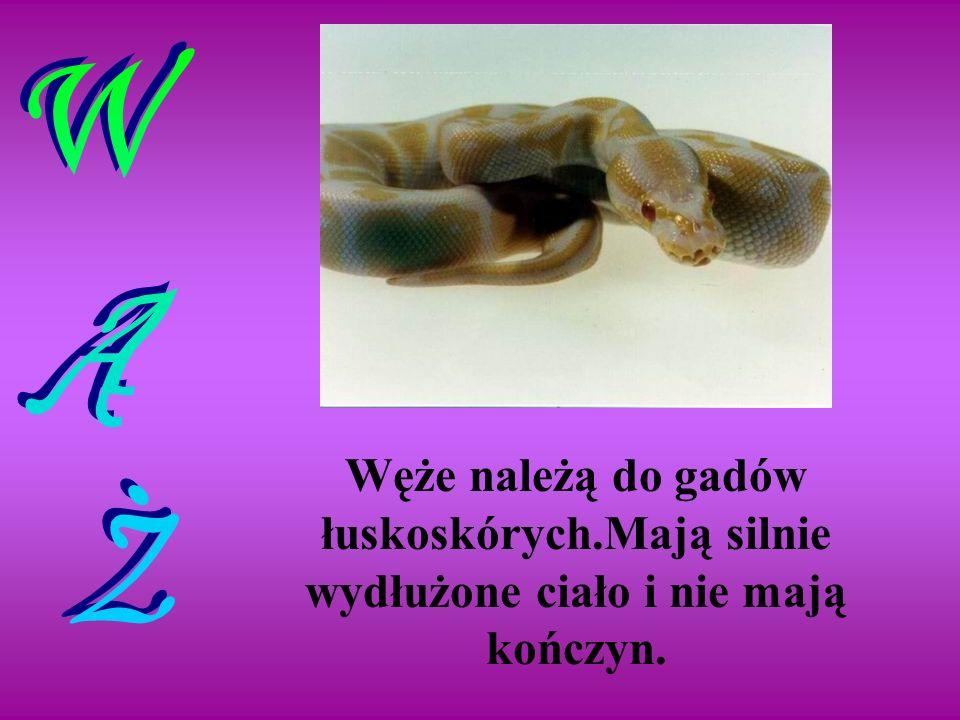 WĄŻ Węże należą do gadów łuskoskórych.Mają silnie wydłużone ciało i nie mają kończyn.