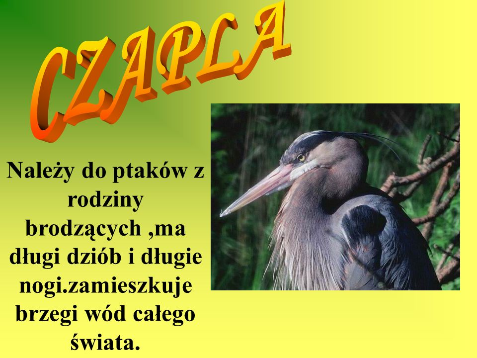 CZAPLANależy do ptaków z rodziny brodzących ,ma długi dziób i długie nogi.zamieszkuje brzegi wód całego świata.