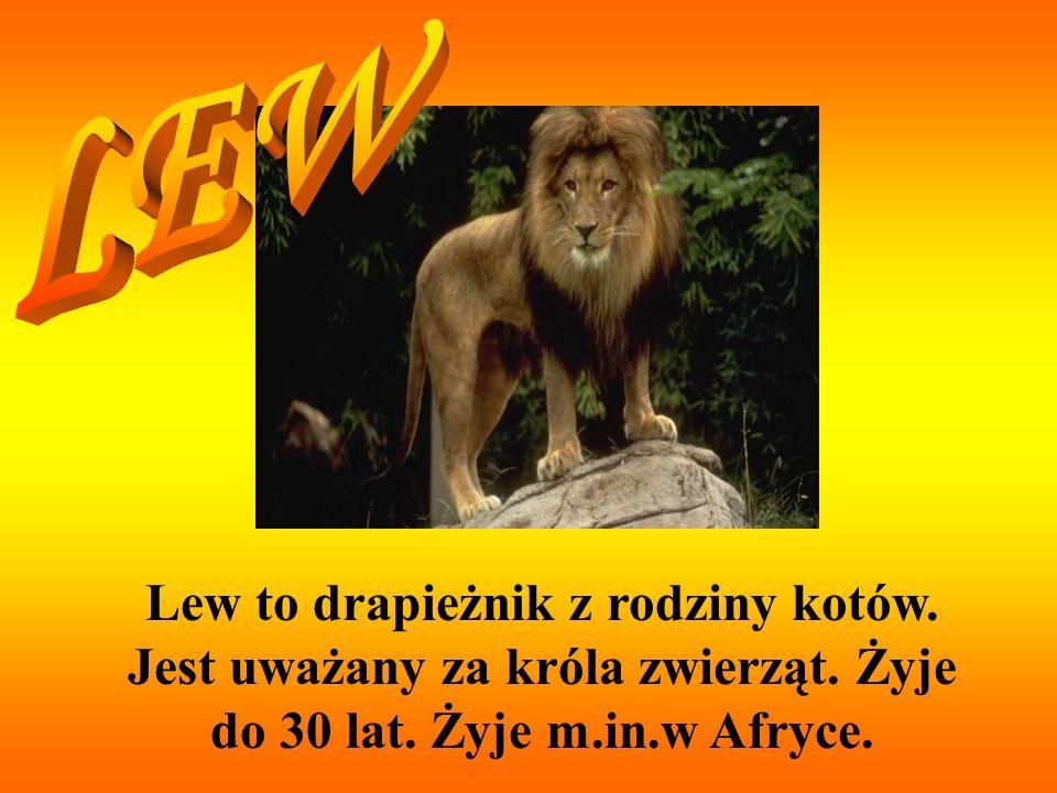 LEW Lew to drapieżnik z rodziny kotów. Jest uważany za króla zwierząt.