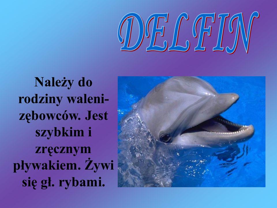 DELFIN Należy do rodziny waleni- zębowców. Jest szybkim i zręcznym pływakiem. Żywi się gł. rybami.