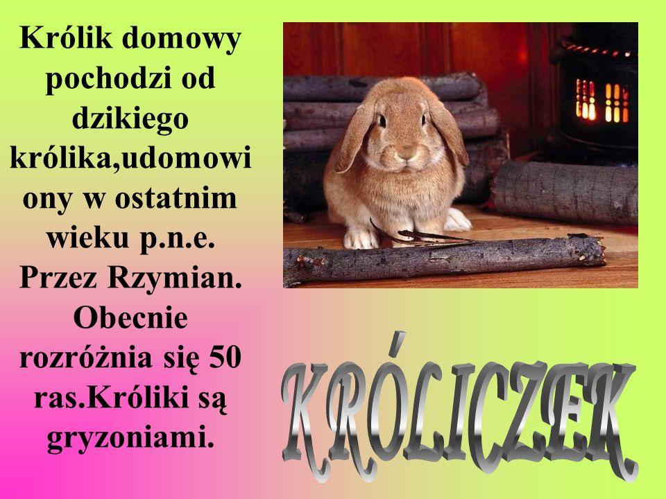 Królik domowy pochodzi od dzikiego królika,udomowiony w ostatnim wieku p.n.e. Przez Rzymian. Obecnie rozróżnia się 50 ras.Króliki są gryzoniami.