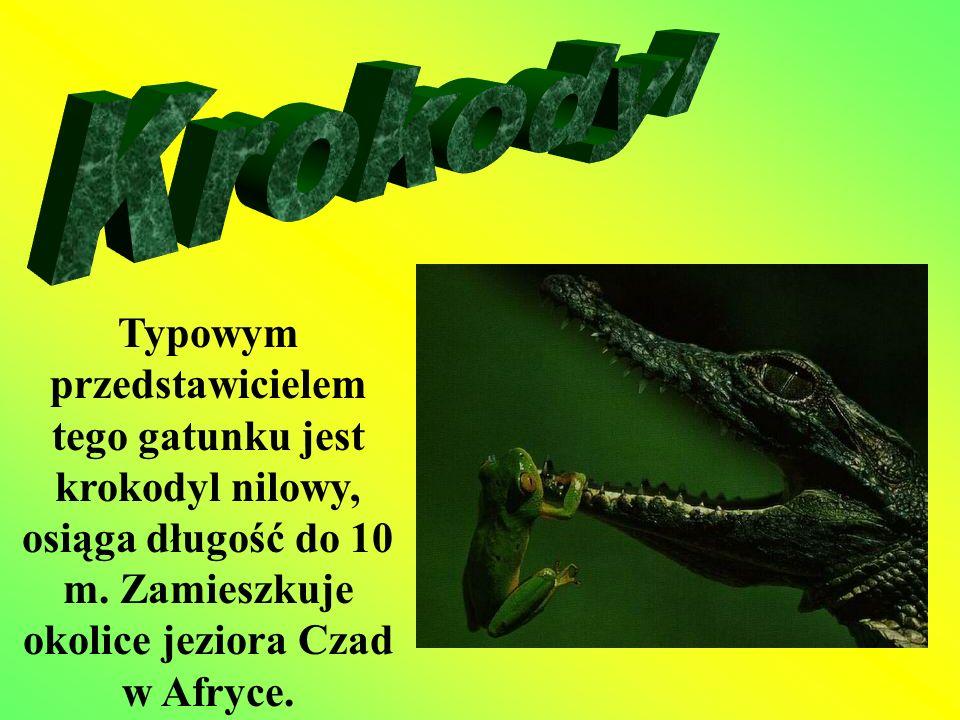 Krokodyl Typowym przedstawicielem tego gatunku jest krokodyl nilowy, osiąga długość do 10 m.