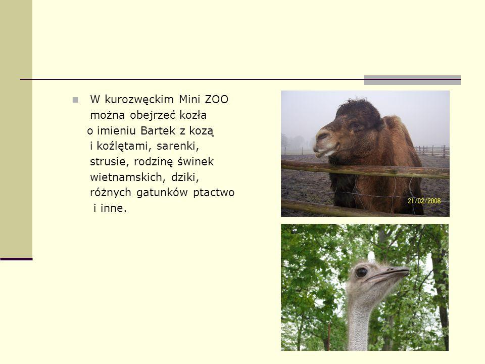 W kurozwęckim Mini ZOO można obejrzeć kozła. o imieniu Bartek z kozą. i koźlętami, sarenki, strusie, rodzinę świnek.
