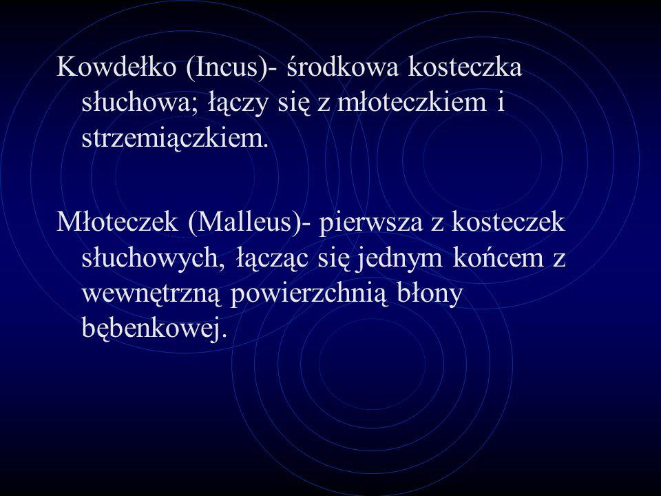 Kowdełko (Incus)- środkowa kosteczka słuchowa; łączy się z młoteczkiem i strzemiączkiem.