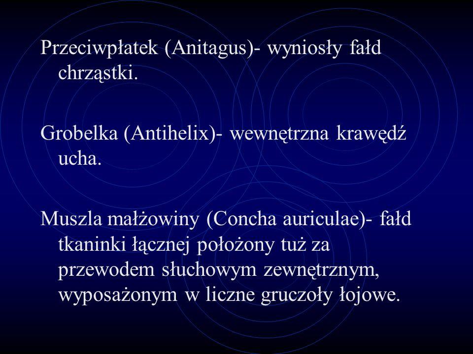 Przeciwpłatek (Anitagus)- wyniosły fałd chrząstki