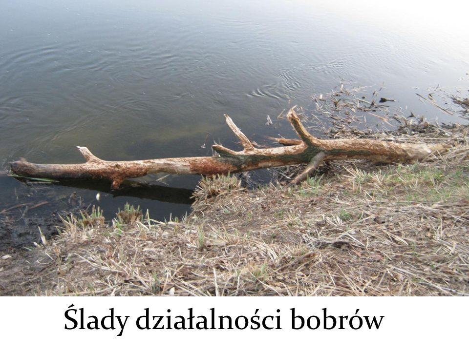 Ślady działalności bobrów