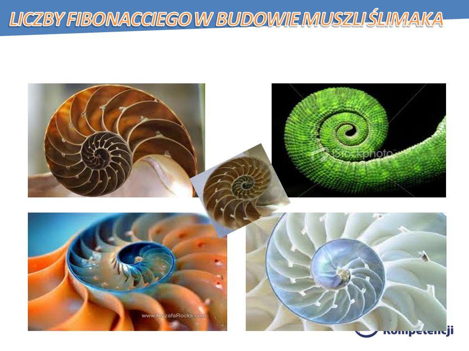 Liczby Fibonacciego w budowie muszli ślimaka