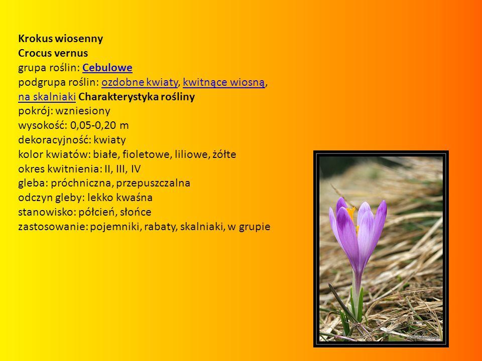 Krokus wiosenny Crocus vernus. grupa roślin: Cebulowe. podgrupa roślin: ozdobne kwiaty, kwitnące wiosną, na skalniaki Charakterystyka rośliny.