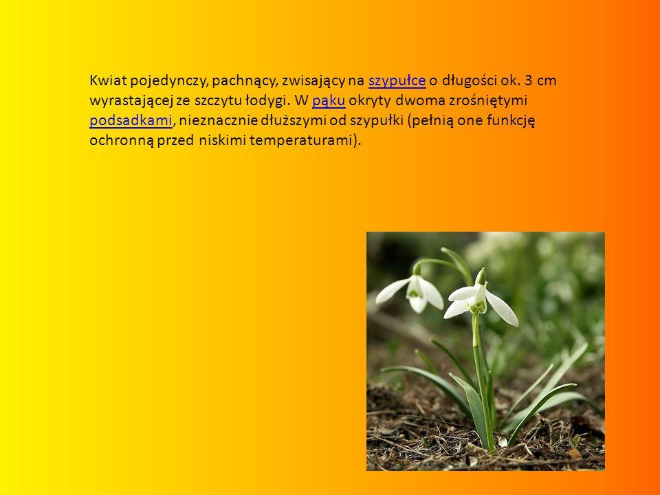 Kwiat pojedynczy, pachnący, zwisający na szypułce o długości ok