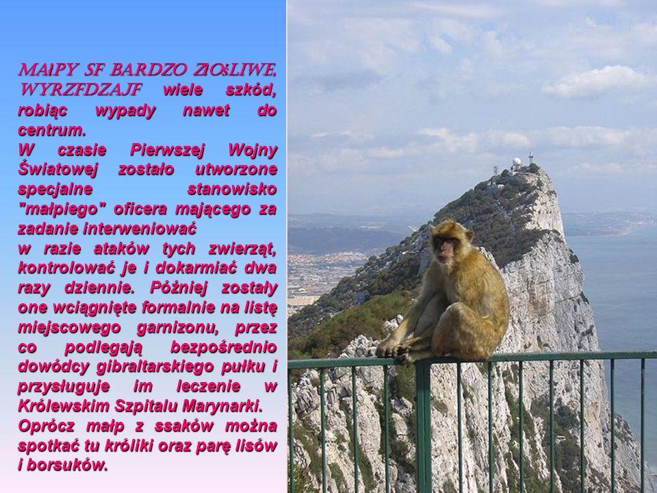 Małpy są bardzo złośliwe, wyrządzają wiele szkód, robiąc wypady nawet do centrum.