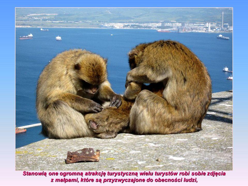 z małpami, które są przyzwyczajone do obecności ludzi,