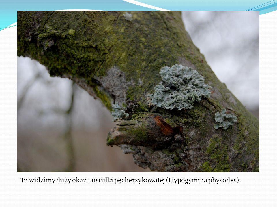 Tu widzimy duży okaz Pustułki pęcherzykowatej (Hypogymnia physodes).