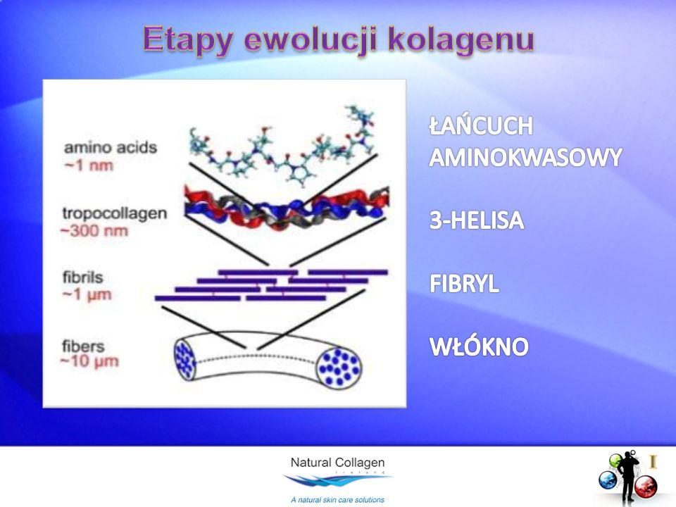 Etapy ewolucji kolagenu