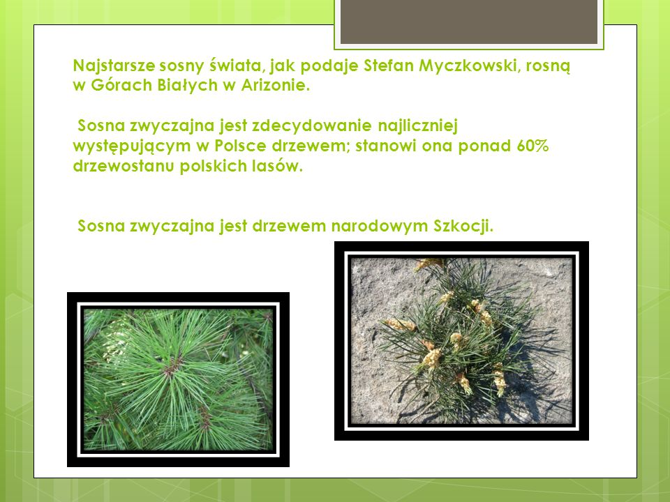 Najstarsze sosny świata, jak podaje Stefan Myczkowski, rosną w Górach Białych w Arizonie.