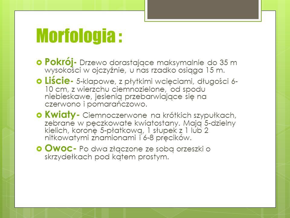 Morfologia : Pokrój- Drzewo dorastające maksymalnie do 35 m wysokości w ojczyźnie, u nas rzadko osiąga 15 m.