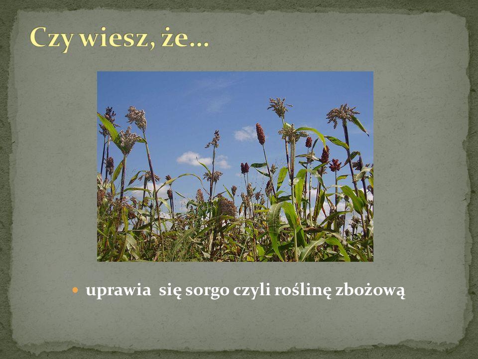 uprawia się sorgo czyli roślinę zbożową