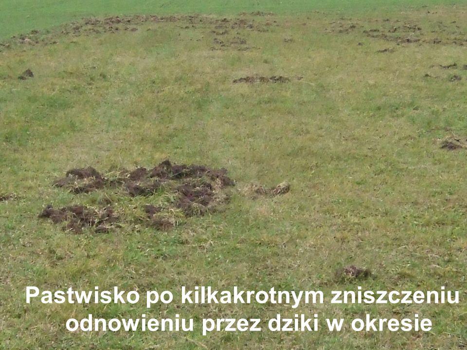 Pastwisko po kilkakrotnym zniszczeniu i odnowieniu przez dziki w okresie