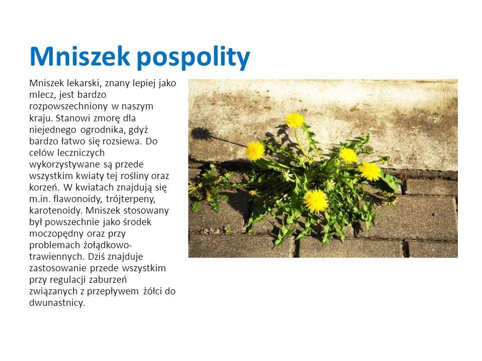 Mniszek pospolity